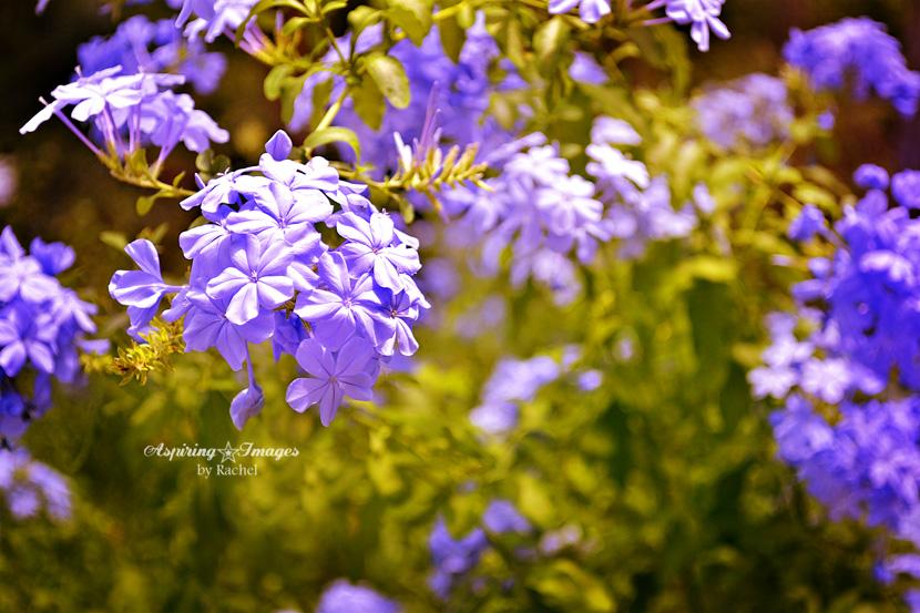 AspiringImagesbyRachel-Flowers-Purple