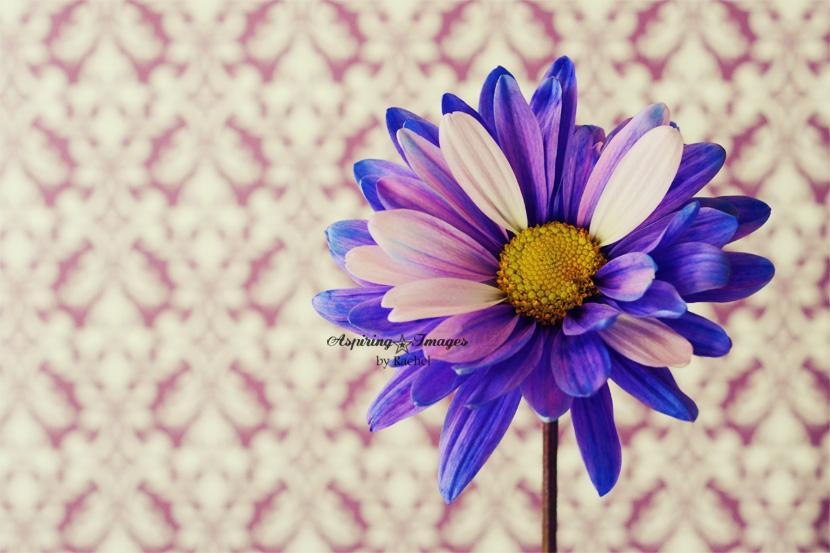 AspiringImagesbyRachel-PurpleFlower-w-DamaskBackdrop